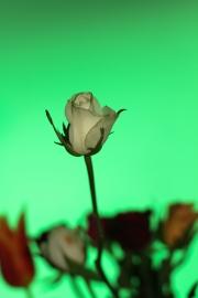 green_rose
